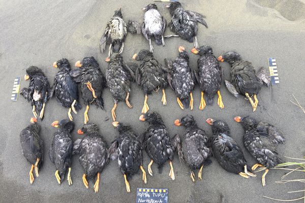 Dead tufted puffins were collected and photograph Oct. 19 and 20, 2016 on St. Paul Island. (Paul Melovidov / Aleut Community of St. Paul Ecosystem Conservation Office)