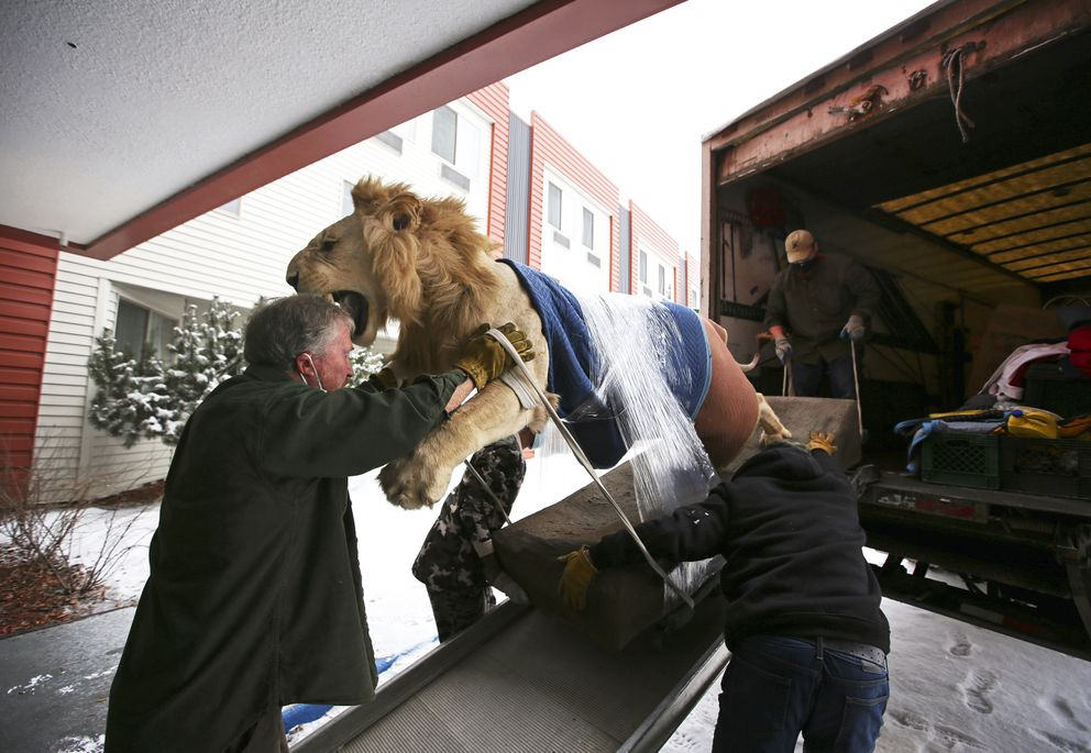 Larry Allen, left, of Allen's Professional Moving Services, guides the taxidermy lion from the Best Western Golden Lion Hotel onto his moving truck in Anchorage on Tuesday, Feb. 16, 2021. (Emily Mesner / ADN)