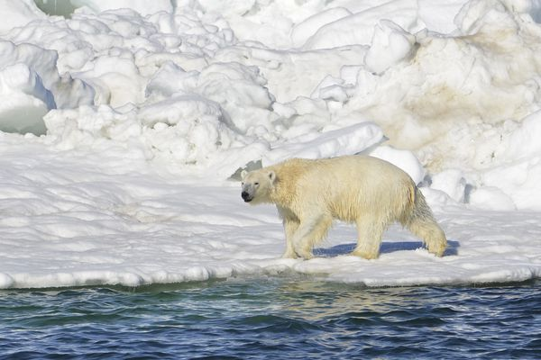 The community of Wales, located on the tip of the Seward Peninsula, is set to launch a community-run patrol to protect residents from polar bears.