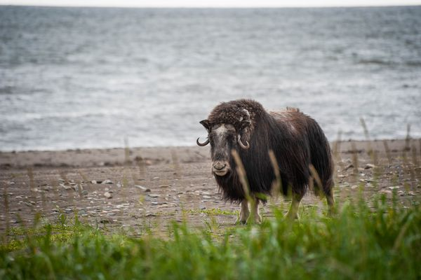 Musk Ox near Nome in the Bering Land Bridge National Preserve, Jul. 2012.