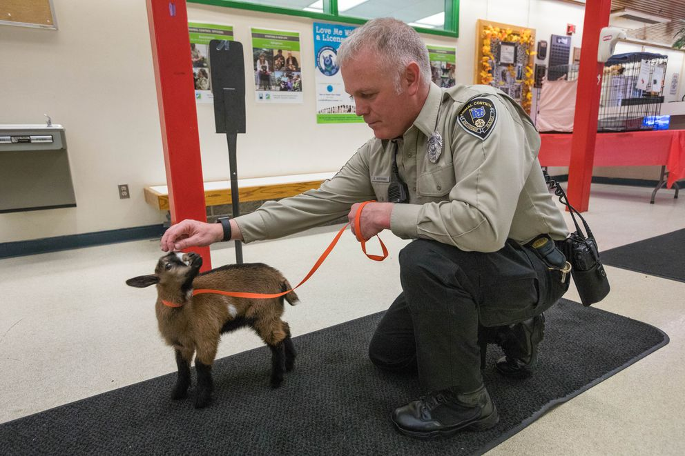 Animal control officer Daniel Bertrand with a pygmy goat that he adopted Friday at the Anchorage Animal Control Center. The stray goat was adopted in under an hour. (Loren Holmes / ADN)
