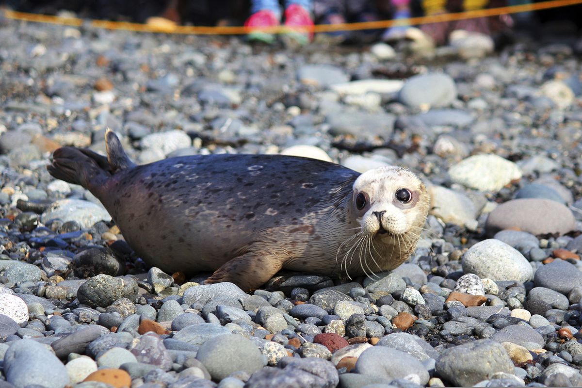 In this Thursday, Sept. 5, 2019, photo, Alaska Sealife Center volunteers release a harbor seal back into the wild in Kachemak Bay at Bishop's Beach in Homer, Alaska. The center released two seals which were found neglected on Homer area beaches this May and were rehabilitated through the Wildlife Response Program. (Megan Pacer/Homer News via AP)