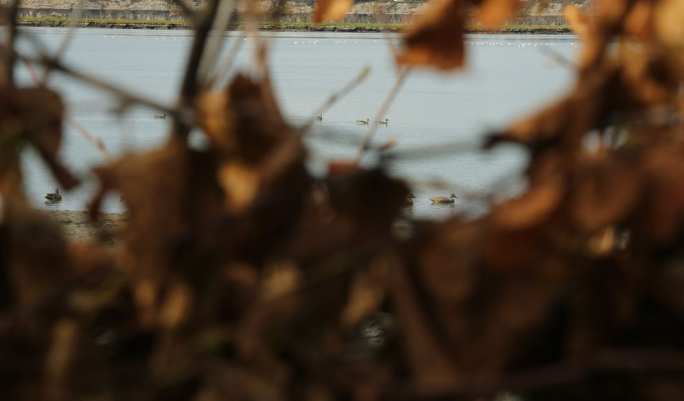 Pintails in the decoys, the subterfuge working. (Photo by Steve Meyer)