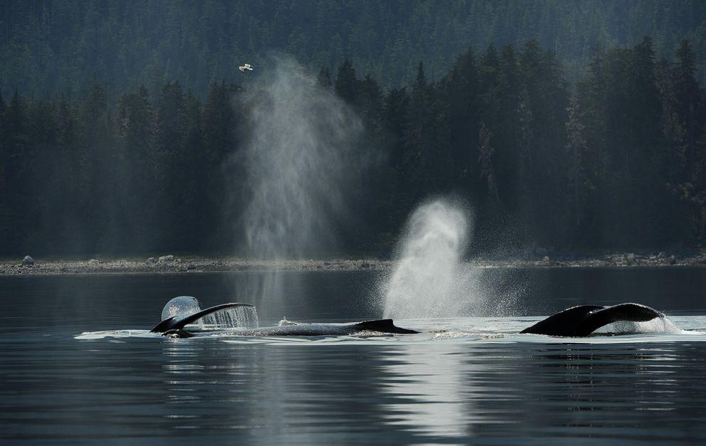 Humpback whales exhale noisily off Kupreanof Island. (Bob Hallinen / ADN)