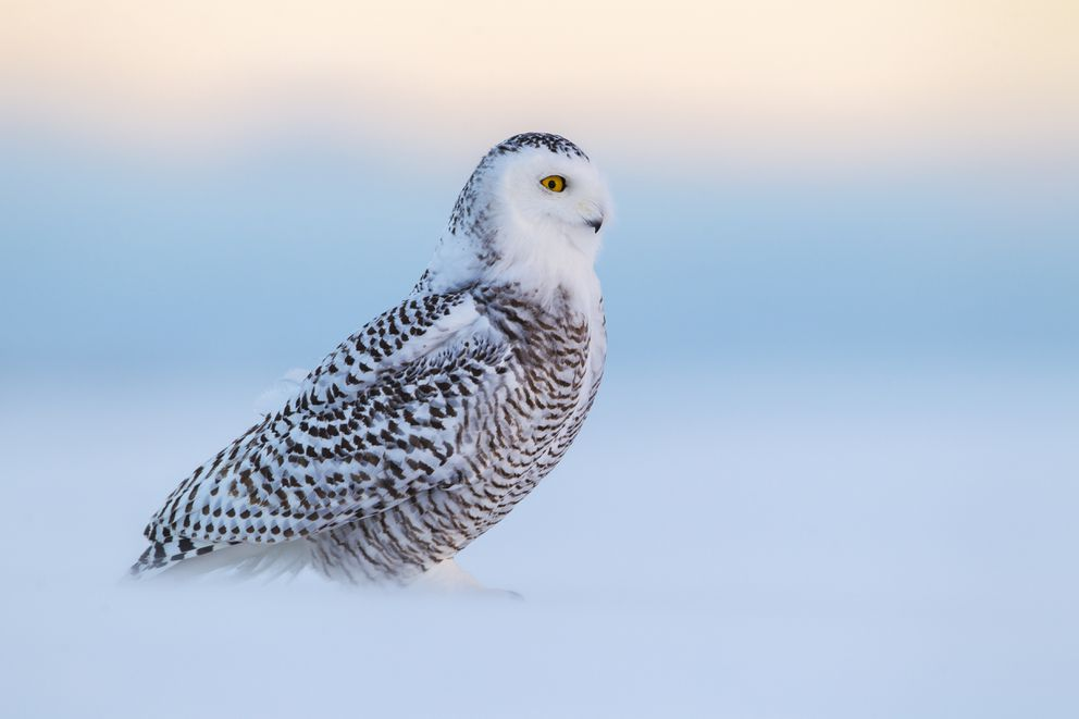In blowing snow, a snowy owl carefully scans the horizon for competing owls.(Paul Bannick, copyright 2016, Braided River)