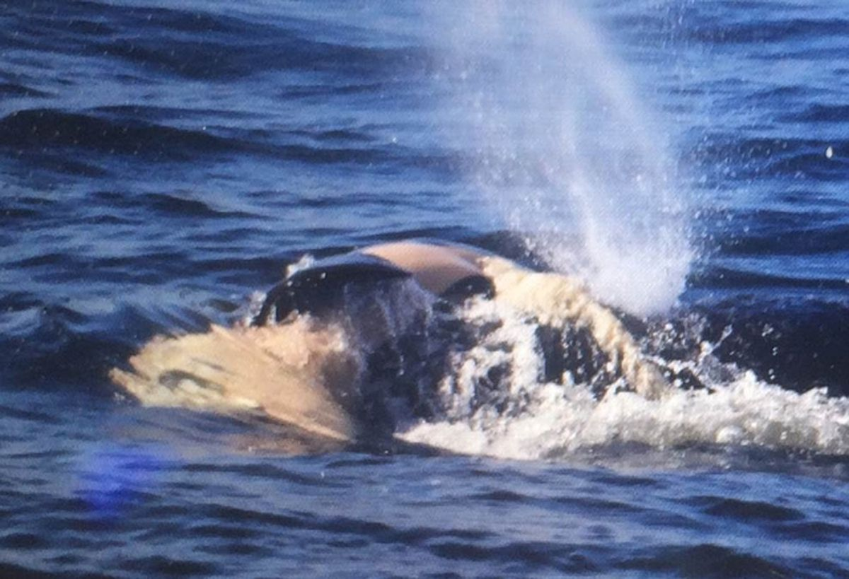 Tahlequah was continuing to carry her calf for the 17th consecutive day on Thursday, Aug. 9. Here she is photographed carrying her calf at Point No Point on the south shore of the Strait of Juan de Fuca. The calf's body is beginning to decompose. (Courtesy of the Center for Whale Research/TNS)