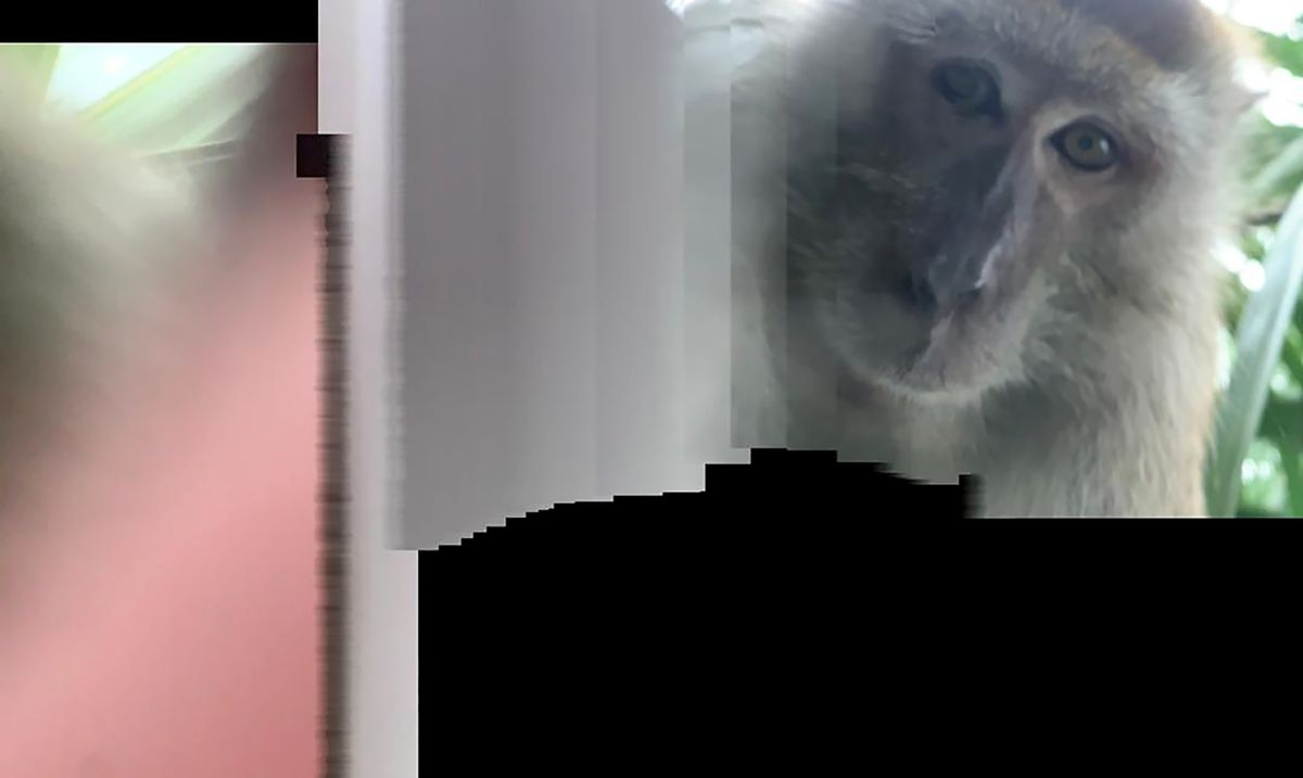 Monkey steals cellphone from student's bedroom, takes selfies before  dumping it - Anchorage Daily News