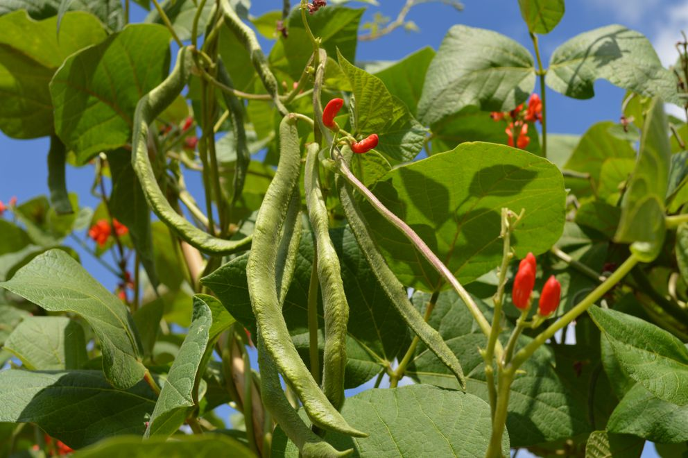 Scarlet runner beans (Getty Images)