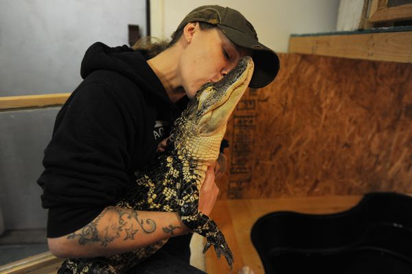 Sheridan Perkins owner of Valley Aquatics and Reptile Rescue in Wasilla gives Allie, an American alligator, a kiss on Thursday, Nov. 2, 2017. Perkins said