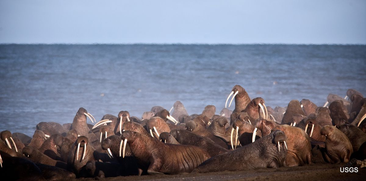 In this September 2013 photo provided by the U.S. Geological Survey, walruses rest on the shores of the Chukchi Sea near the coastal village of Point Lay, Alaska. The U.S. Fish and Wildlife Service says several thousand Pacific walruses were spotted Tuesday, July 30, 2019, near Point Lay in their earliest appearance since sea ice has substantially receded. (Ryan Kingsbery/USGS via AP,File)