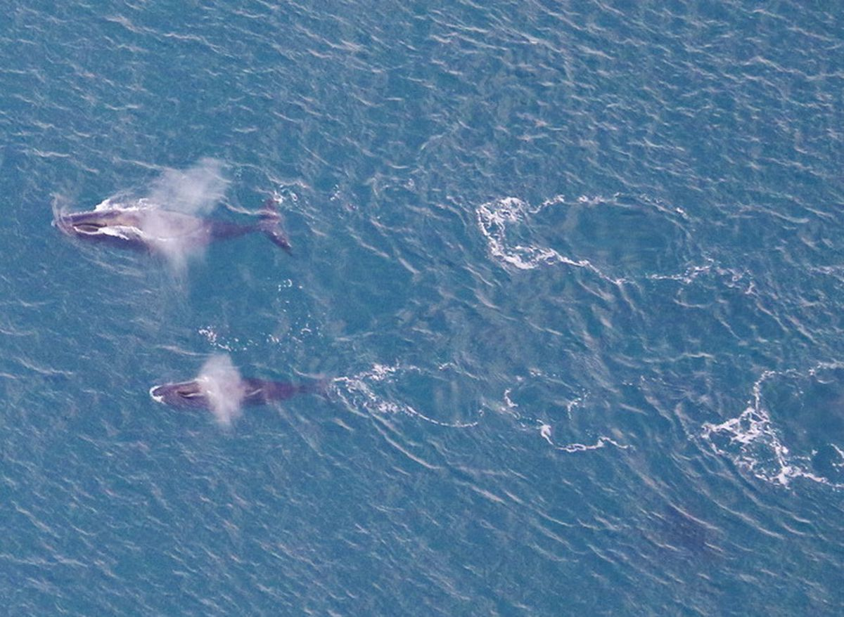Bowhead whales off the coast of northern Alaska in fall 2020. NOAA biologist Amy Willoughby took this photo during an airplane survey of the whales. (Photo by Amy Willoughby)