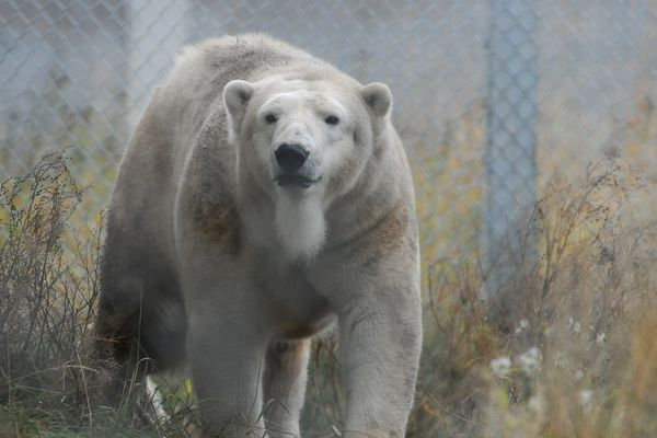Cranberry the 16-year-old female polar bear from the Denver Zoo explores her new home at the Alaska Zoo in Anchorage, AK on Friday, Oct 26, 2018. The female bear is on loan from the Denver Zoo and will be viewable by the public in January baring pregnancy. Cranberry may be pregnant already. Cranberry will be introduced to Louie, the Alaska Zoo's male polar bear. (Bob Hallinen / ADN)