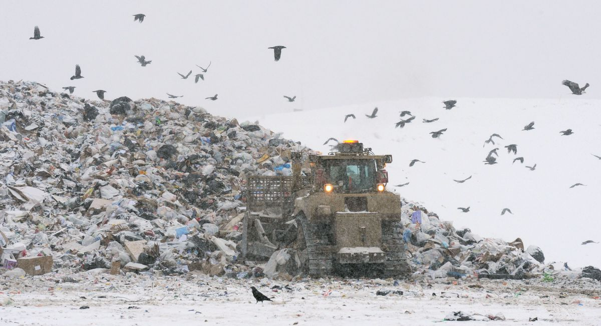 Bald eagles and ravens search for food in the Anchorage Regional Landfill in 2012. (Bill Roth / ADN)