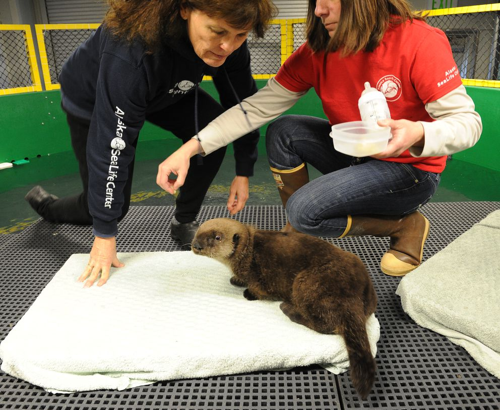 Volunteer Deb Magruder and husbandry manager Lisa Hartman feed chopped clams and a formula mimicking otter milk to a young male sea otter that is being cared for at the Alaska SeaLife Center Thursday. (Bob Hallinen / Alaska Dispatch News)
