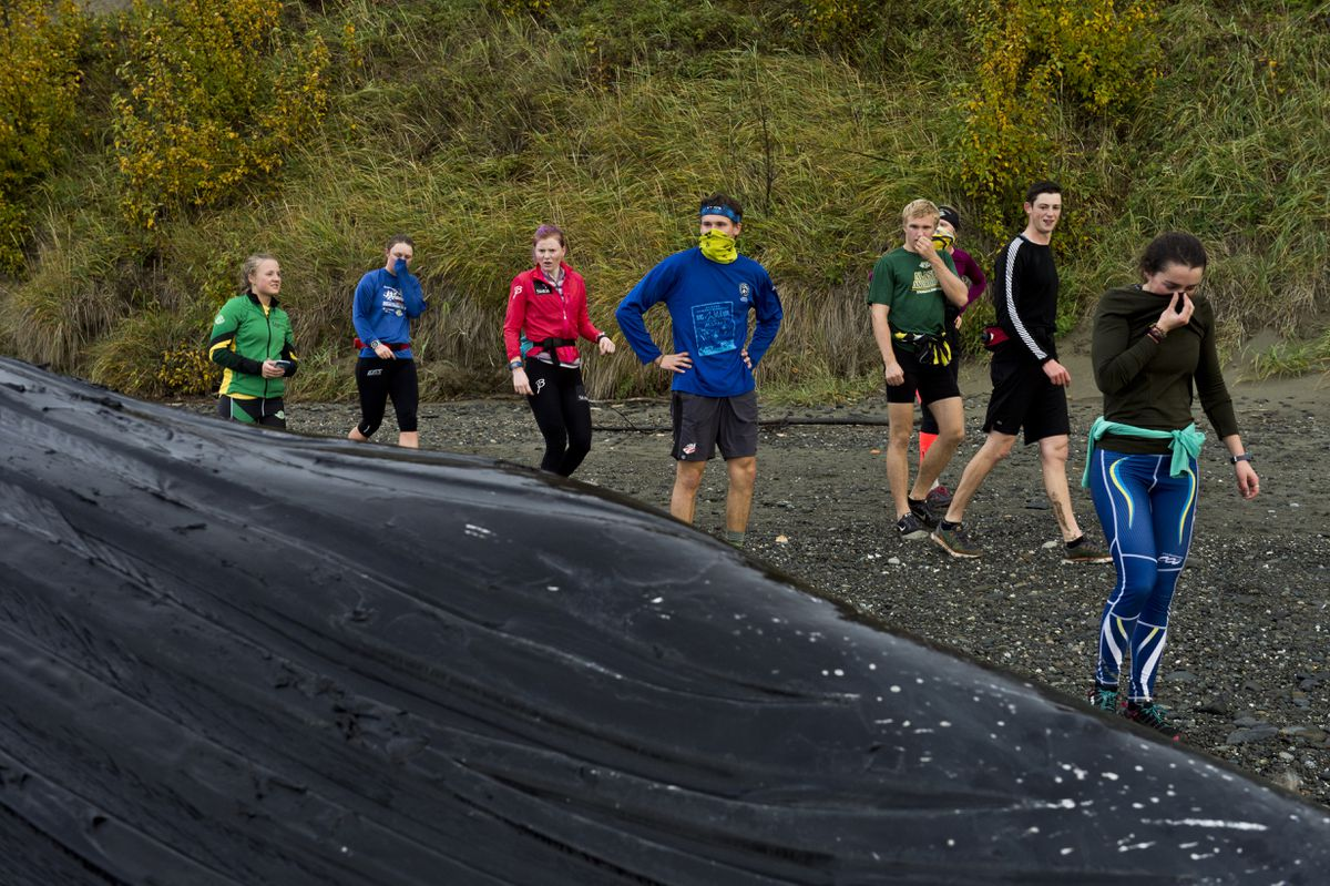 Members of the UAA cross country ski team approach the whale during a training run, some with covered noses, Monday morning.  (Marc Lester / Alaska Dispatch News)