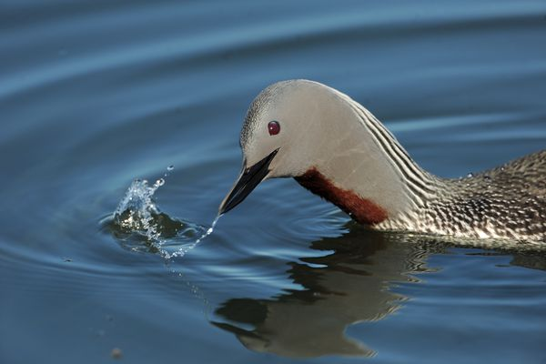 A red-throated loon shakes its head at Lake Hood Float Plane Base in Anchorage, AK on Friday June 1, 2018. (Bob Hallinen / ADN)
