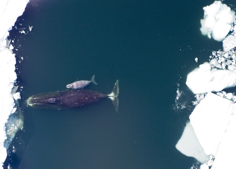 A bowhead whale and calf. The Arctic's largest mammals, they sometimes grow to 60 feet long and live for 200 years. (Corey Accardo / National Oceanic and Atmospheric Administration)