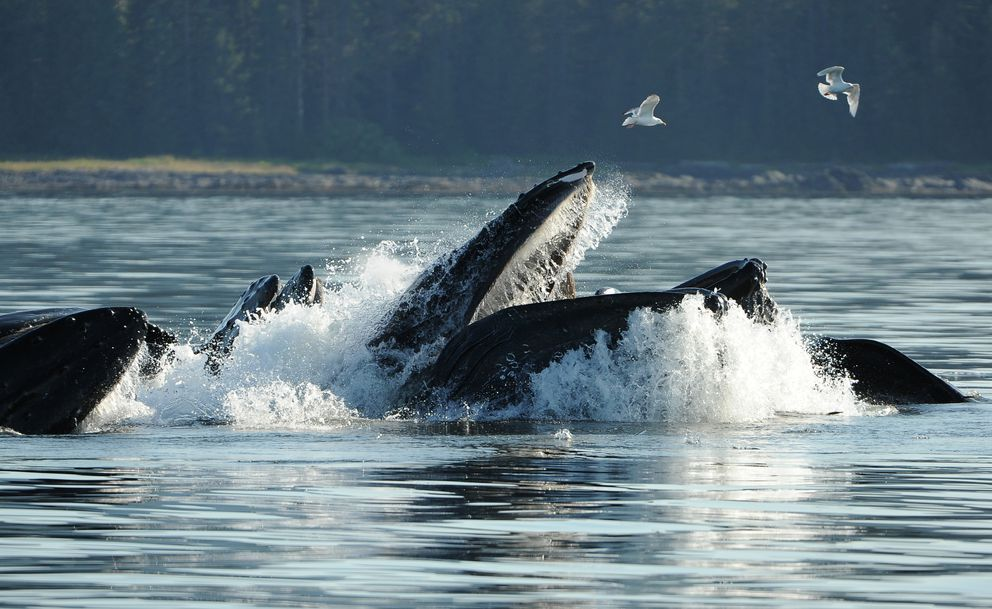 Humpback whales bubble-net feed in Frederick Sound. (Bob Hallinen / ADN)