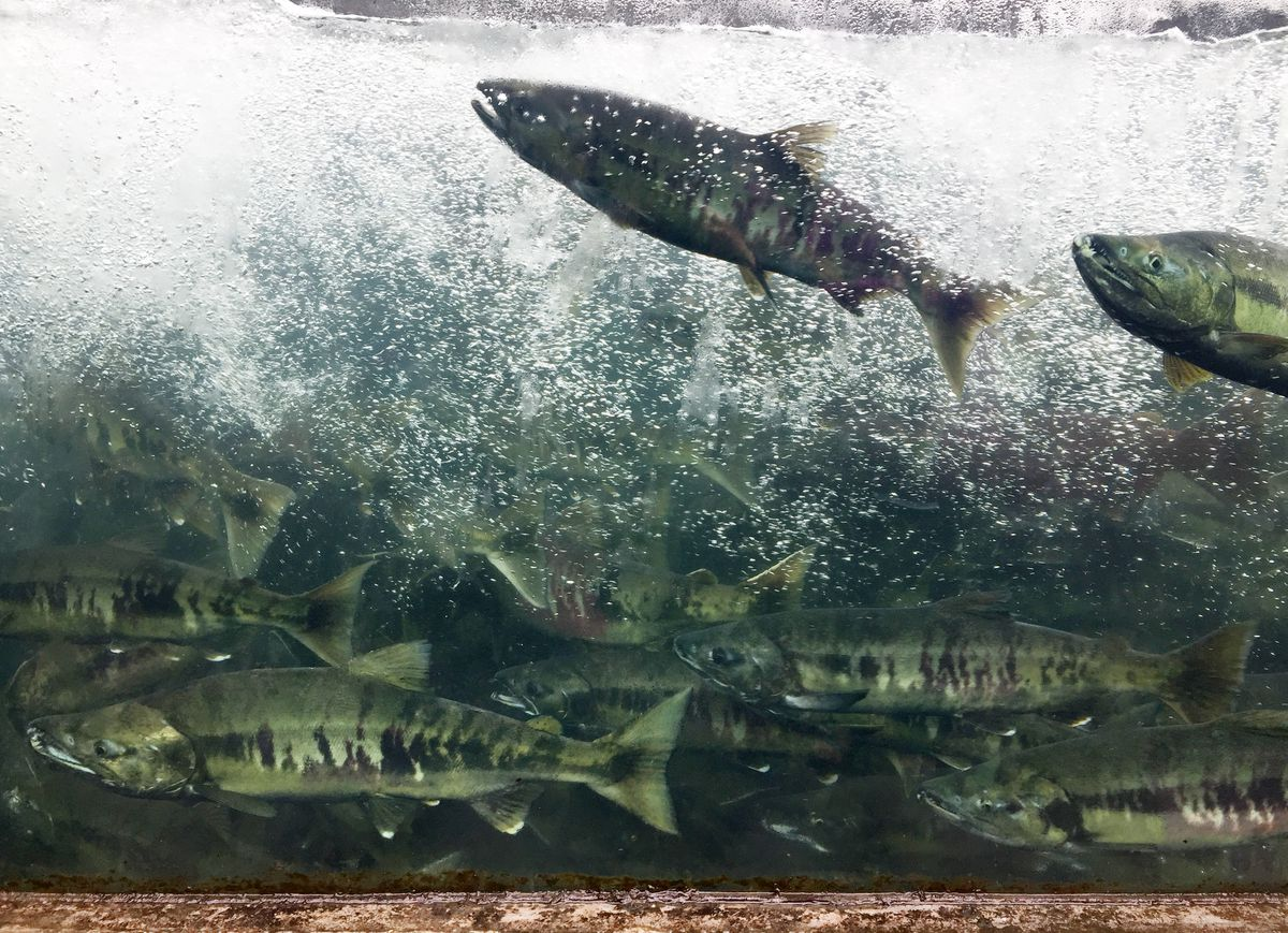 Chum salmon make their way up the fish ladder at the Macaulay Salmon Hatchery on Tuesday, August 15, 2017, in Juneau. Douglas Island Pink & Chum, Inc. (DIPAC) currently rears and releases chum, chinook, coho and sockeye salmon. Brief tours, exhibits, aquariums, a touch tank and a viewing window in the fish ladder are offered to visitors. (Erik Hill / ADN)