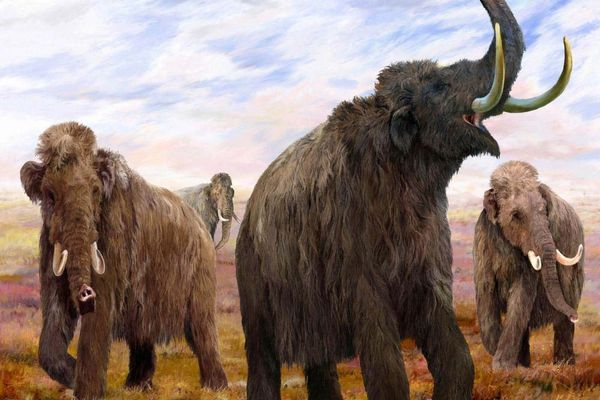 This illustration shows four female woolly mammoths in their herd. Fossil records indicate herds consisted of adult females and young calves. When males reached adulthood, they left the herd. (VELIZAR SIMEONOVSKI / The Field Museum, courtesy Anchorage Museum)