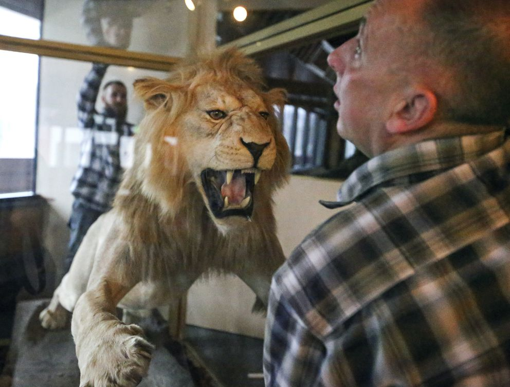 Dennis Keeling, right, and Kyle Keeling, left, with Instant Service Glass Repair, work to remove panels of glass from the display case housing a taxidermy lion at the Best Western Golden Lion Hotel in Anchorage on Friday, Jan. 15, 2021. (Emily Mesner / ADN)