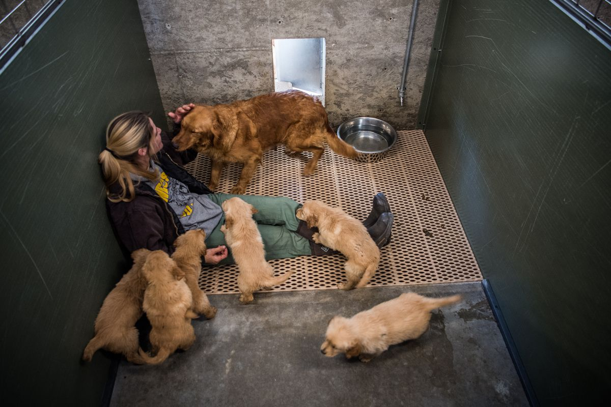 Tara York, a kennel tech, sits with a female golden retriever and her puppies at the Sugarfork Kennels in Goodman, Mo. (Washington Post photo by Salwan Georges)