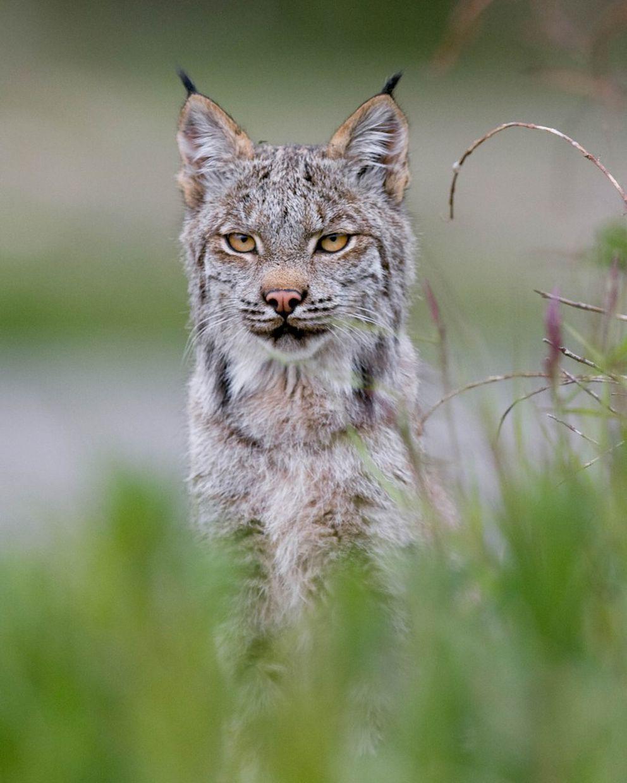 Lynx, Denali National Park. June 2009 (Photo courtesy National Park Service)