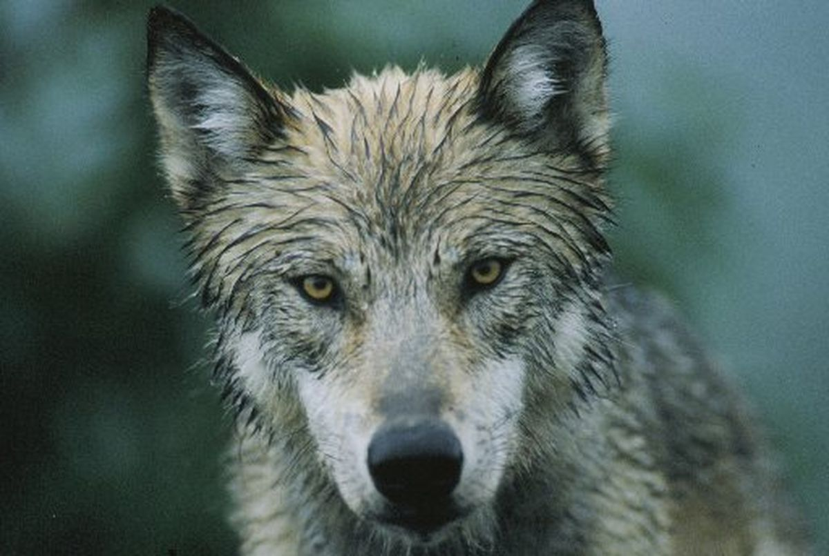\A wolf stares out of the brush alongside the Denali National Park road, July 1998. (Bob Hallinen / Alaska Dispatch News)
