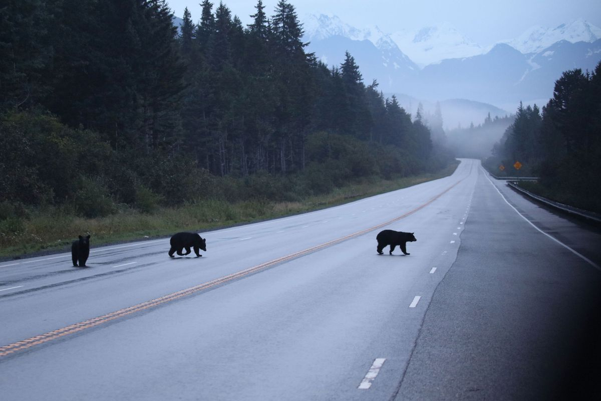 A trio of young bears cross the Seward Highway near Turnagain Pass in September 2017. Some national headlines suggest you could slaughter them. (Photo by Steve Meyer)