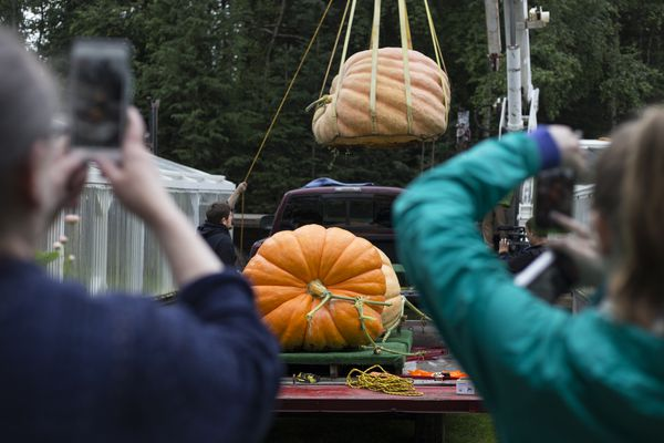 Patty Marshall and Kayla Norman take photos and video of Dale Marshall's pumpkins before transporting them to the Alaska State Fair for the pumpkin weigh-off Tuesday, August 29, 2017, in Anchorage. (Rugile Kaladyte / Alaska Dispatch News)