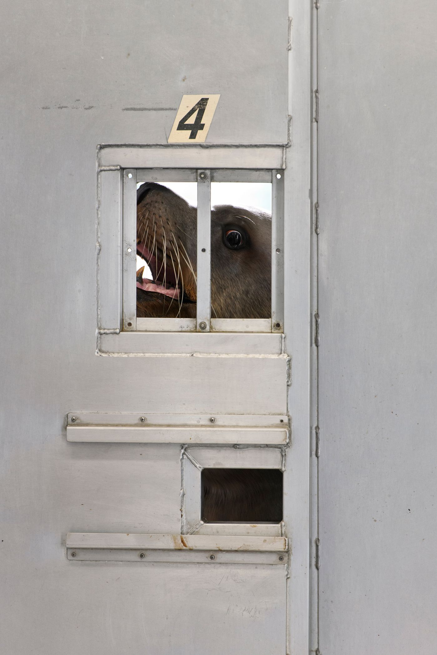 Pilot, a male Steller sea lion, peeks through a door from his outdoor enclosure as staff worked with a female sea lion and a newborn pup at the Alaska SeaLife Center on July 6, 2020. (Marc Lester / ADN)