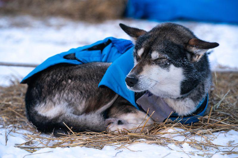 Karin Hendrickson's dog Zap naps in Nikolai on Wednesday. (Loren Holmes / ADN)