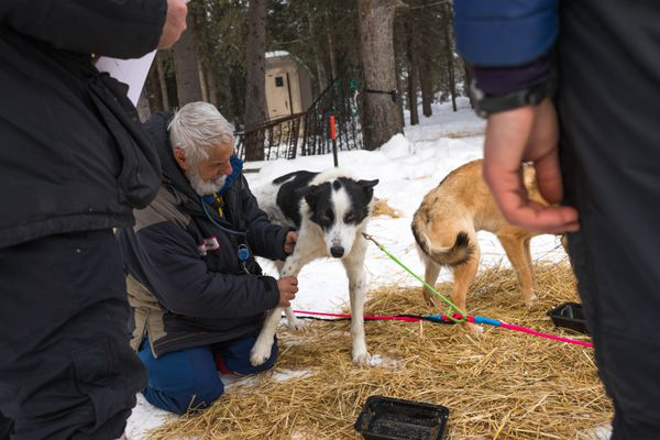 Veterinarian Bill Sampson checks a dog in Kristy Berington's team Thursday, March 8, 2018 in Ophir. Berington ended up dropping the dog at the checkpoint. (Loren Holmes / ADN)