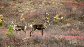 State to close popular caribou hunt after nearing quota in first week