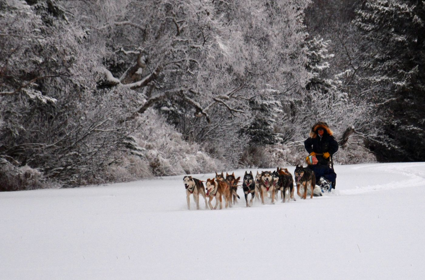 Afina drives a dog team along a frozen lake shore on a frosty winter day. Her host-mom, and Iditarod/Yukon Quest veteran, Colleen Robertia, rides in the sledbag, both for weight and to offer guidance to the still-learning dog driver. (Joseph Robertia)