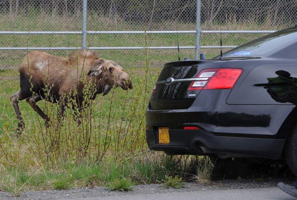 A cow moose protecting her newborn calves charges APD officers parked between the moose and races on the Glenn Highway bike path. (Bill Roth / ADN)