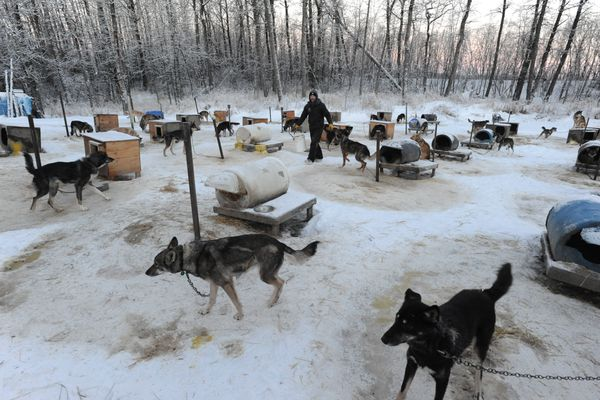 Aniak musher Richie Diehl finishes up feeding his sled dogs on Tuesday morning, Jan. 10, 2017, as he prepares for the upcoming Kusko 300 on Tuesday, Jan. 10, 2017. (Bill Roth / Alaska Dispatch News)