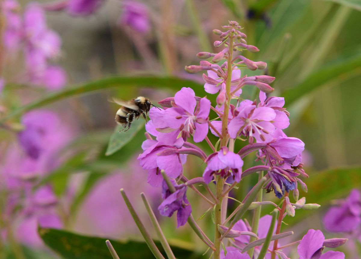 A bumblebee visits a fireweed plant along the Parks Highway on Wednesday, August 10, 2016 near Willow. (Bob Hallinen / ADN)